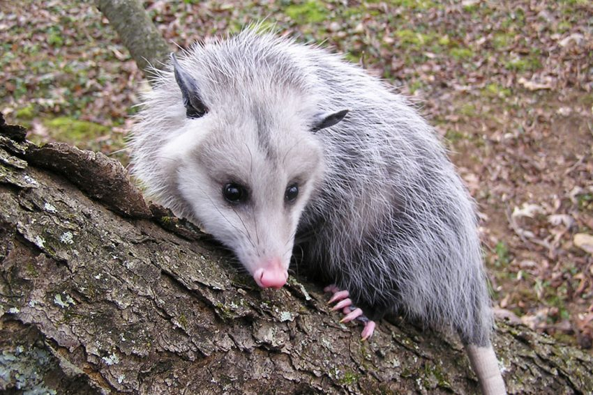 Opossums Mean No Harm